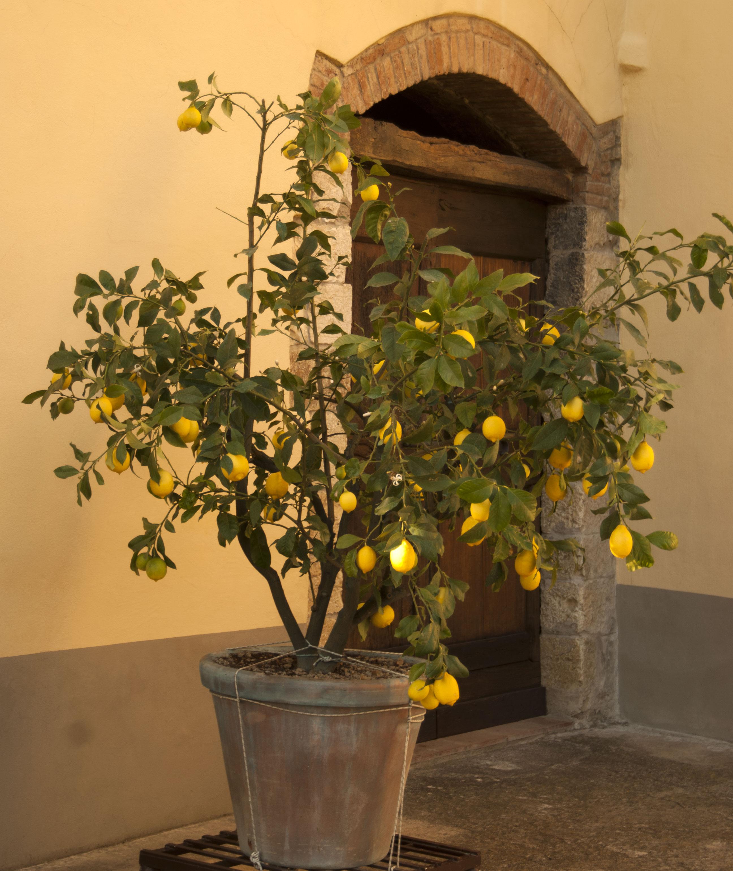 pinata di limone del bb eridu di firenze
