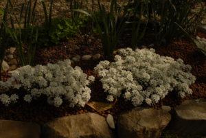 fiori bianchi a cespuglio